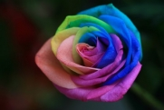 Rainbow Rose, 5 seeds